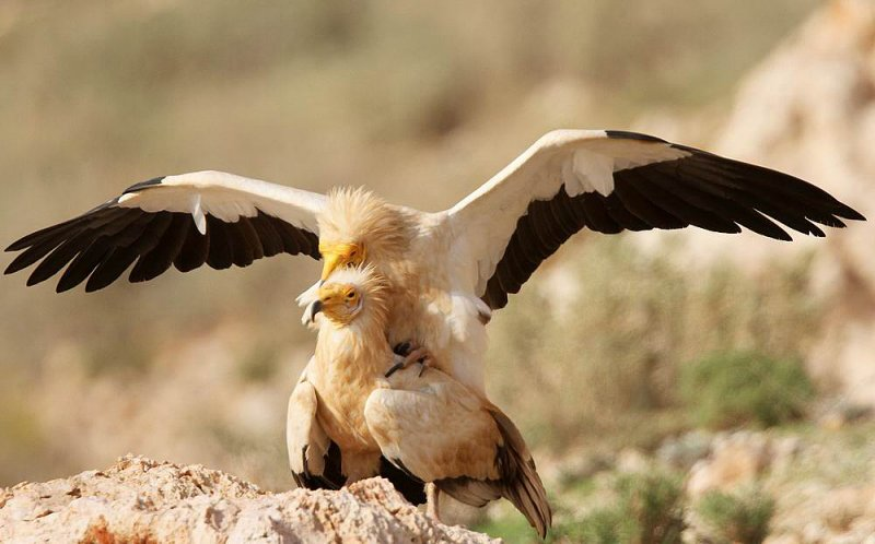 Egyptian Vulture (Smutsgam) Neophron percnopterus