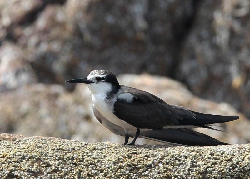 Bridled Tern (Tygeltärna) Onychoprion anaethetus