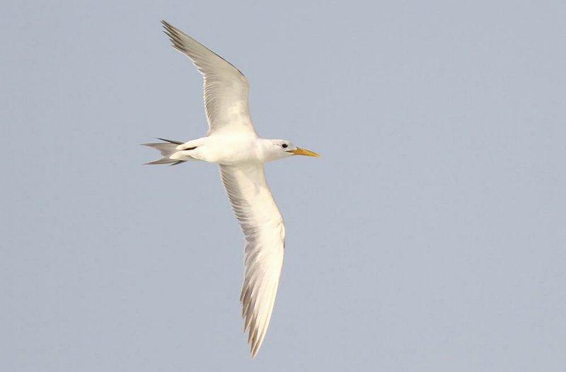 Great Crested Tern (Tofstärna) Sterna bergii