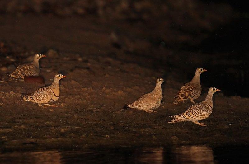 Lichtenstein´s Sandgrouse (Strimmig flyghöna) Pterocles lichtensteinii