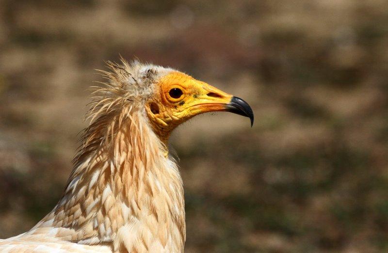 Egyptian Vulture (Smutsgam) Neophron percnopterus