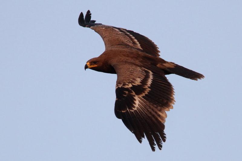 Steppe Eagle (Stäppörn) Aquila nipalensis