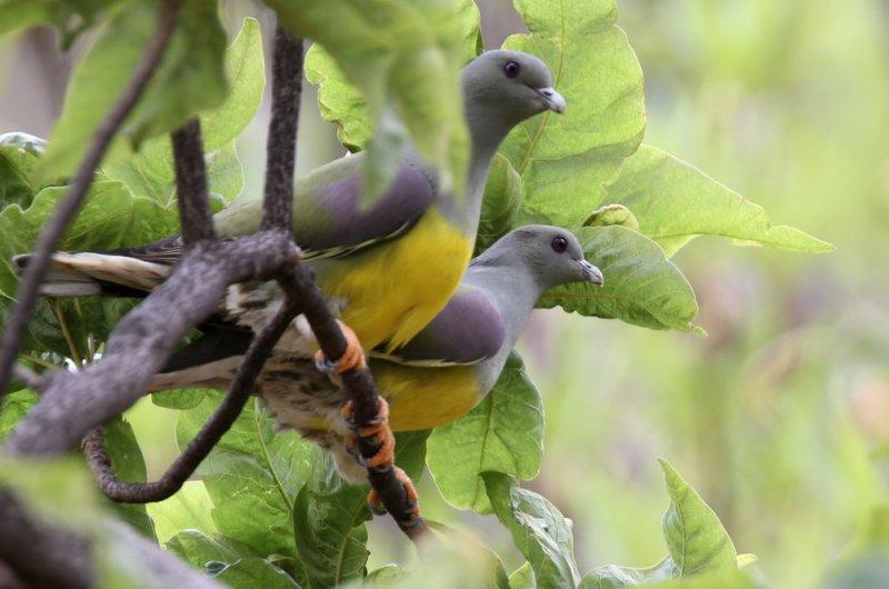 Bruce´s Green-Pigeon (Gulbröstad grönduva) Treron waalia