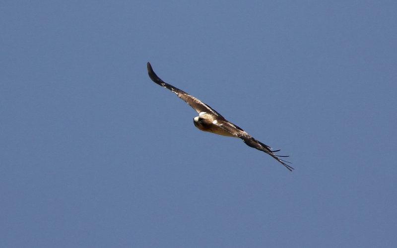 Booted Eagle (Dvärgörn) Hieraaetus pennatus