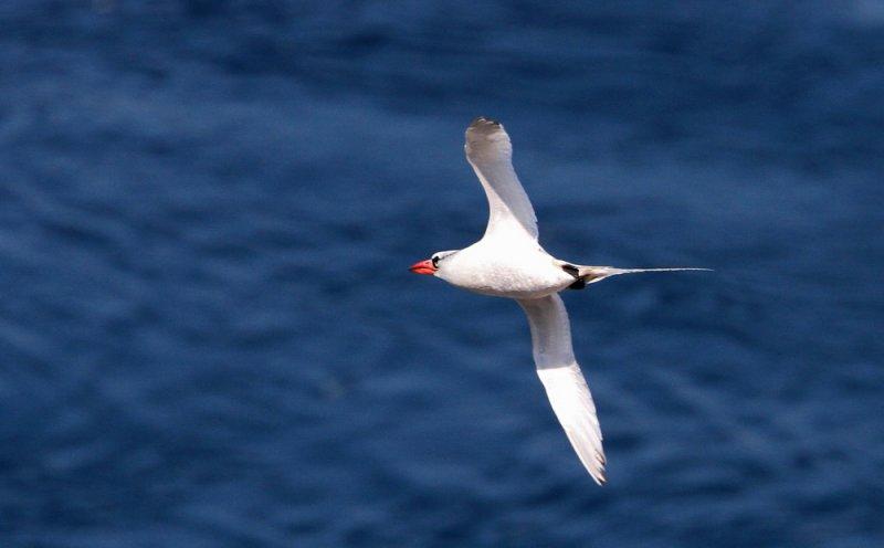 Red-billed Tropicbird (Rödnäbbad tropikfågel) Phaethon aethereus