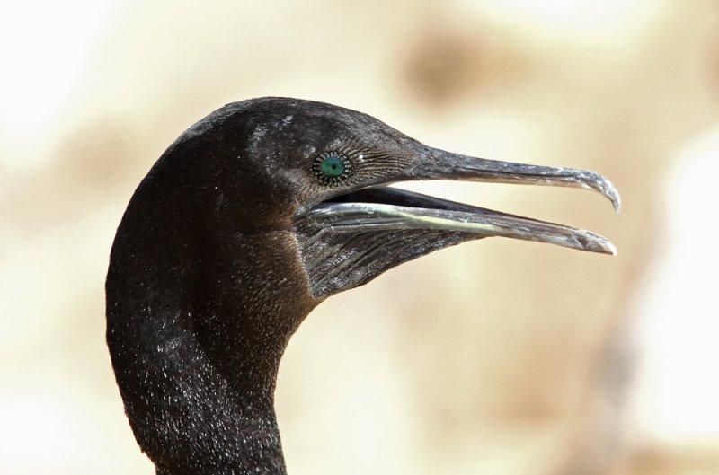 Socotra Cormorant (Sokotraskarv) Phalacrocorax nigrogularis