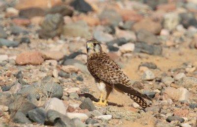 Common Kestrel (Tornfalk) Falco tinnunculus