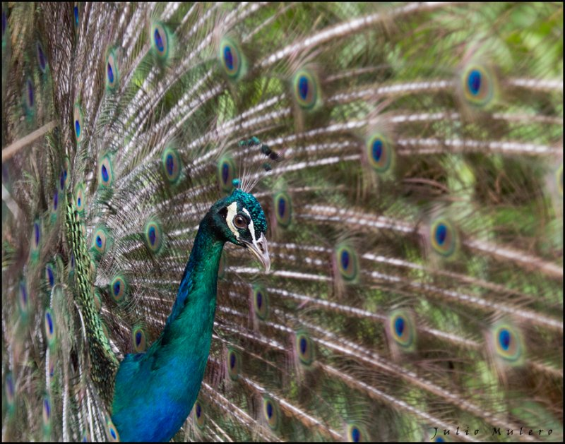 Peacock at the Pisaqui Hacienda