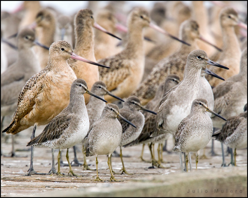 Willets, Dowitchers and Godwits! Oh, my!