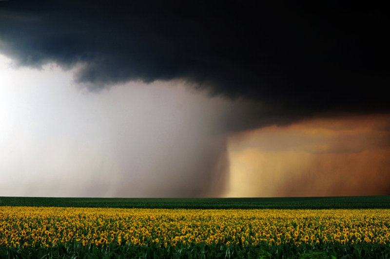 Drama over the Sunflowers field
