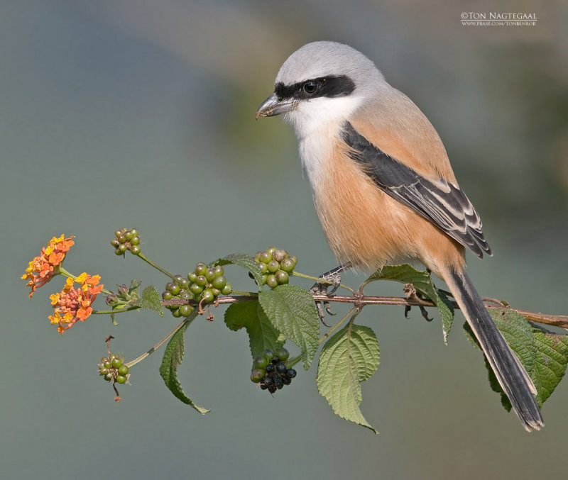 Langstaartklauwier - Long-tailed Shrike - Lanius schach