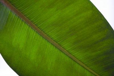 Rubber Tree Plant Leaf Diagonal