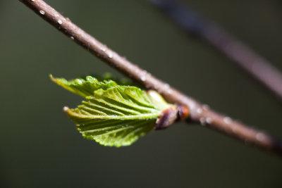 Opening Birch Leaf Bud #4