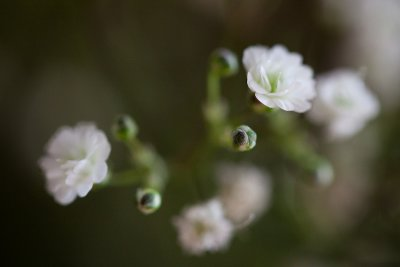 Babys Breath Grouping