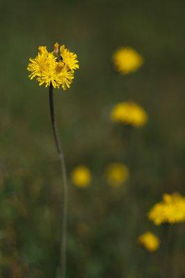 Yellow Hawkweed Bunch