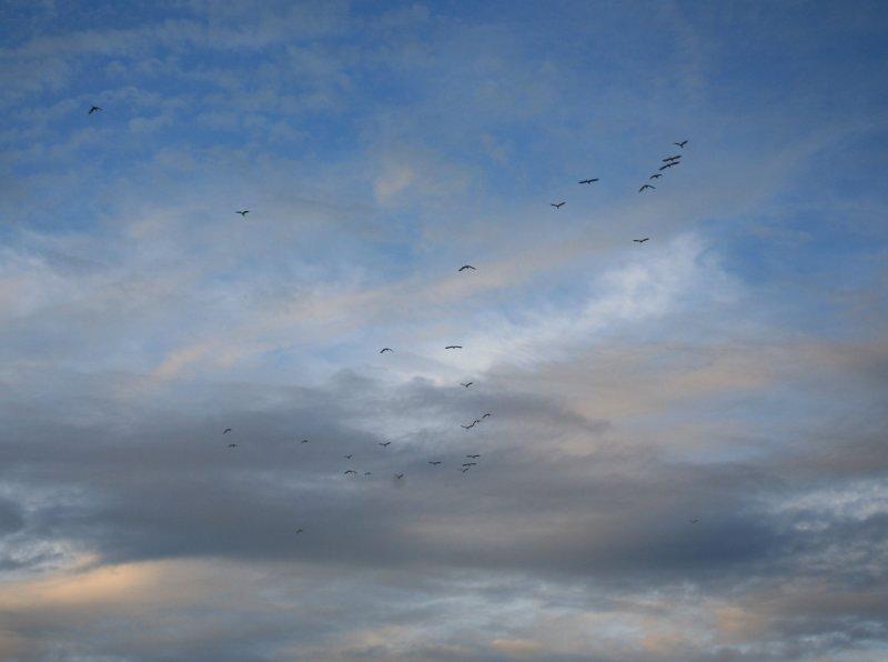 20080626_447bird-flock.JPG