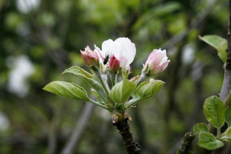 appleblossomtime.jpg
