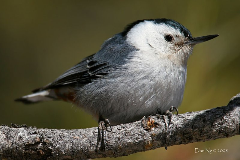 Nuthatch Closeup