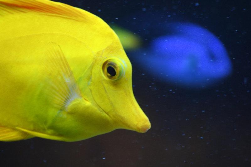 Yellow Tang <br><i>Zebrasoma flavescens</i>
