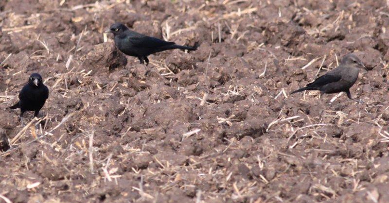 Brewers Blackbirds