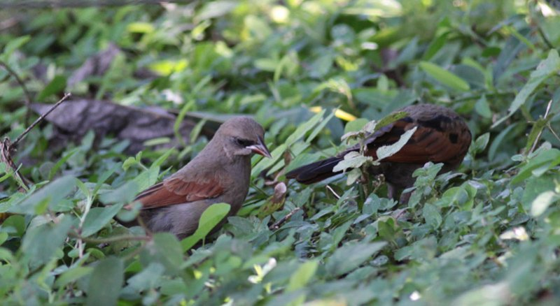 Baywing and Screaming Cowbird