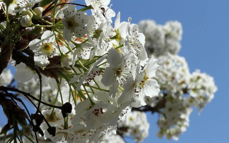 Spring Cherry Blooms
