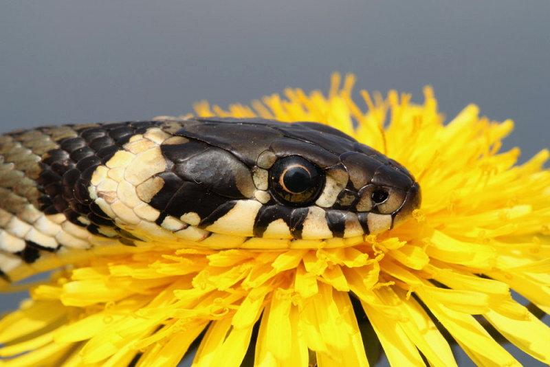 Grass snake Natrix natrix belou�ka_8853_111.jpg