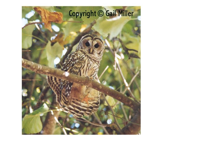 Barred Owl 42.jpg