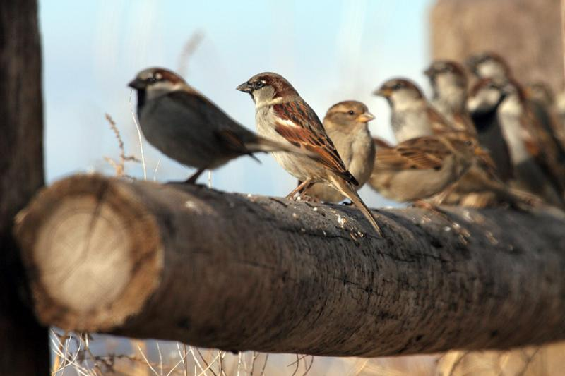 Line of Sparrows