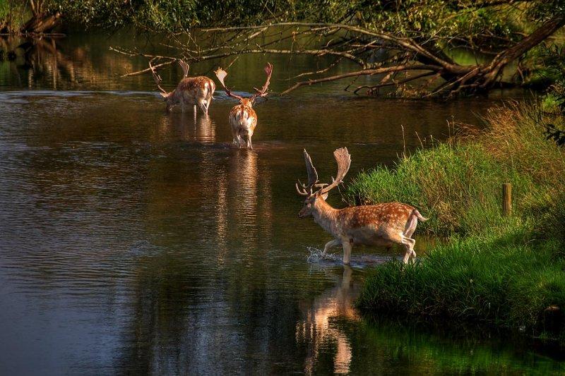 Deer, oh deer, oh deer! Powderham
