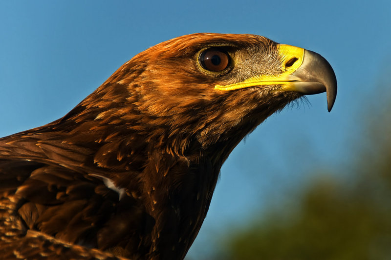 Regal eagle!
