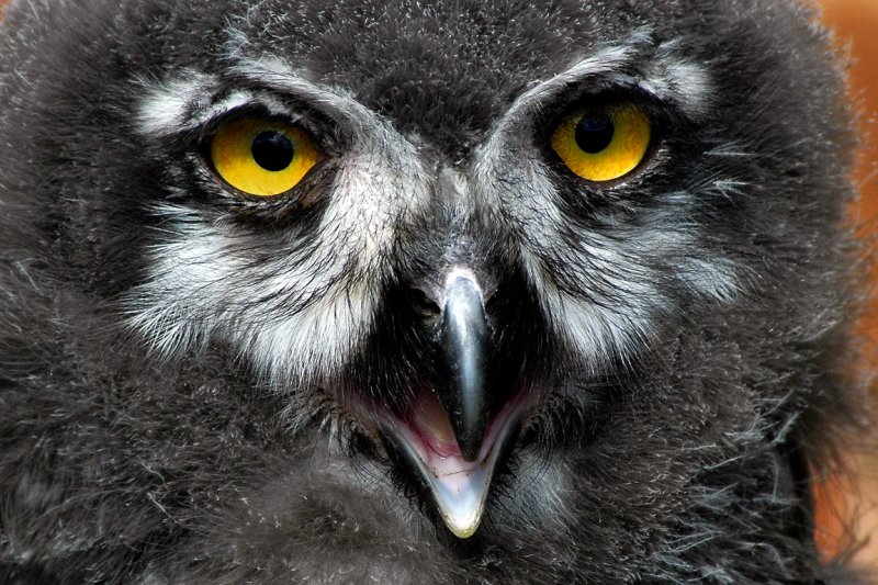 Baby owl too, Bossington