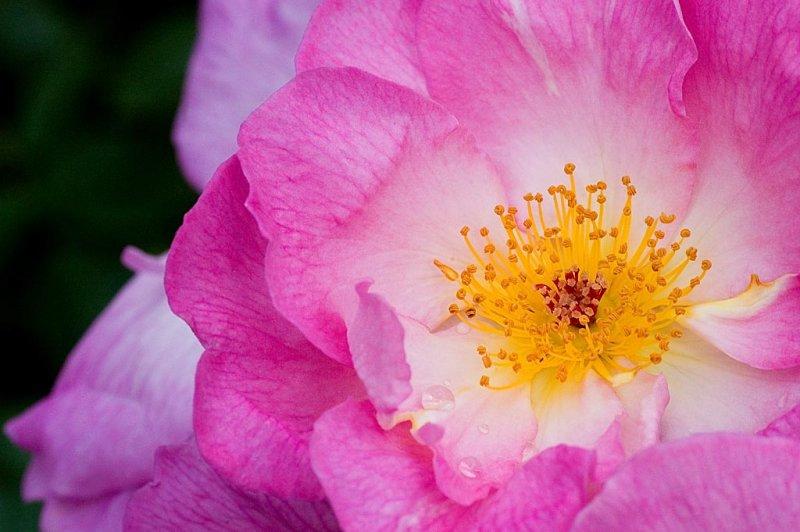 Kinda pinky-purply rose, Lanhydrock, Cornwall