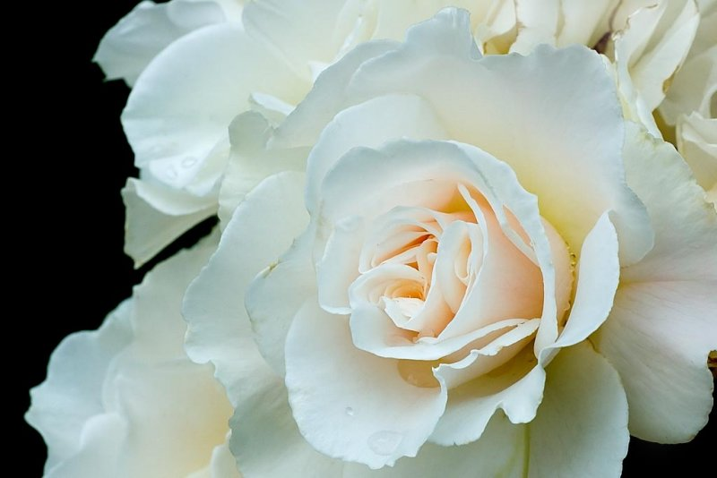 White rose, Lanhydrock, Cornwall