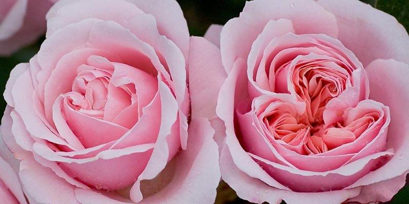 Double pink, Lanhydrock, Cornwall