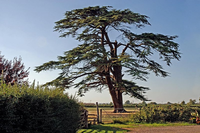 See da tree?! Martock (4441)
