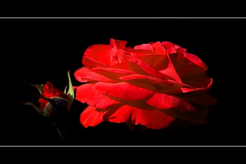 Red rose, Lytes Cary Manor