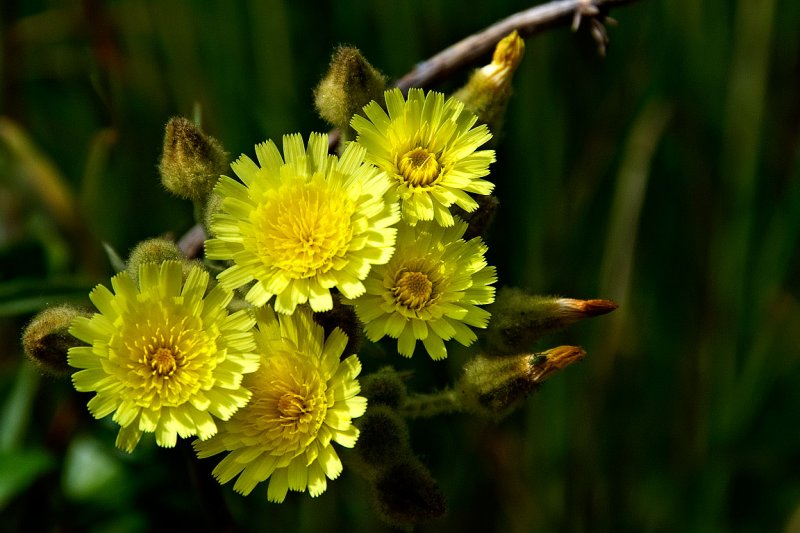 Yellow frilly ones, Selwo
