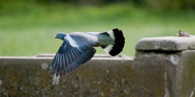 Stop the pigeon!