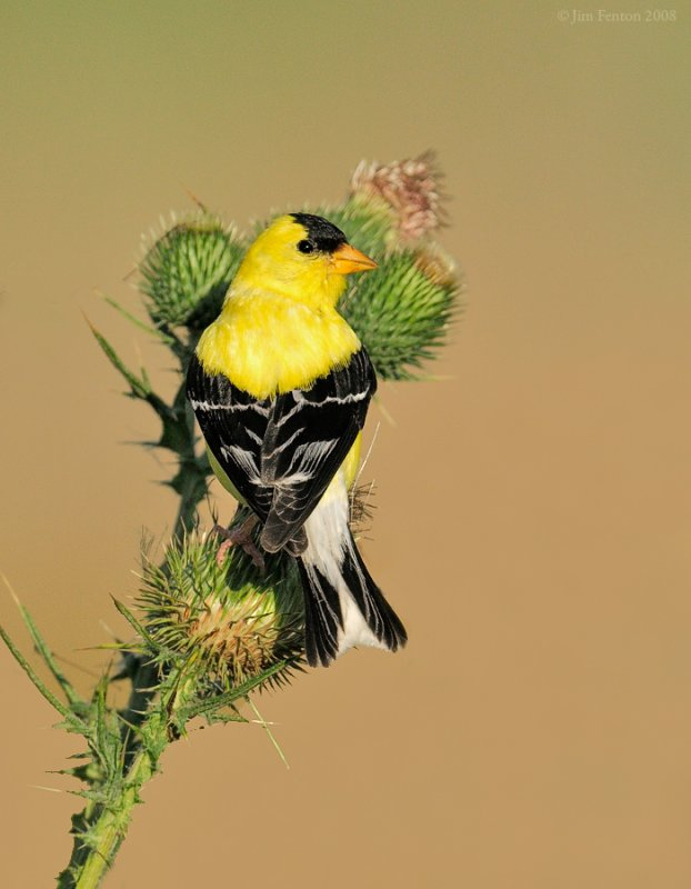 _NW85116 Goldfinch on Thistle