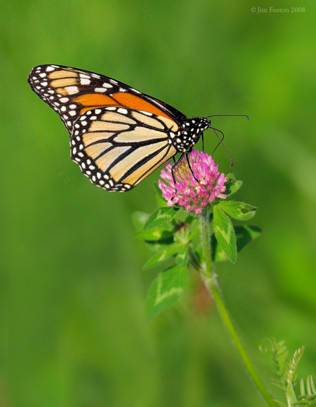 _NW85250 Monarch Butterfly on Clover.jpg