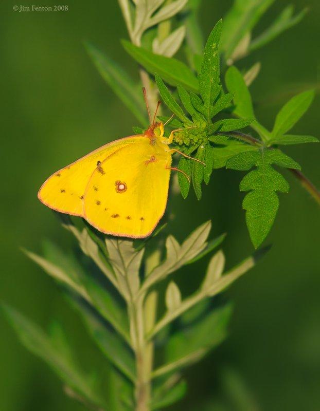 _NW85352 Sulphur Yellow Butterfly.jpg