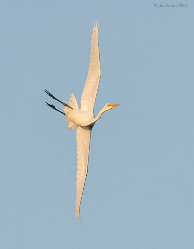 _NW86624 Great Egret Aerial Manuevers at Sunset.jpg