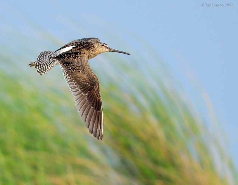 _NW83335 Dowitcher Against Dune Grasses ~ Southbound Migration.jpg