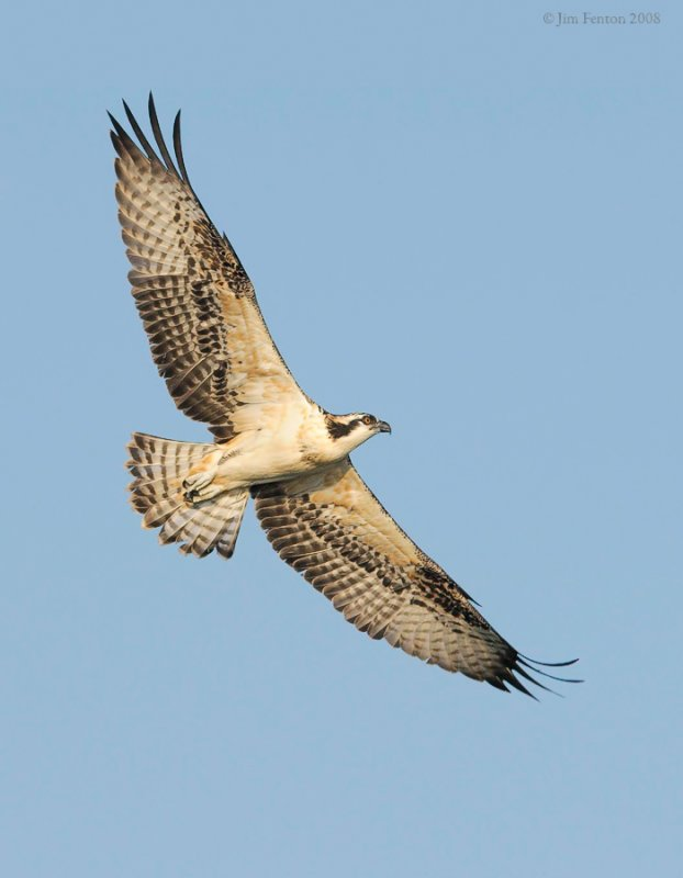 _NW84271 Osprey Juvenile in Flight Late Afternoon.jpg