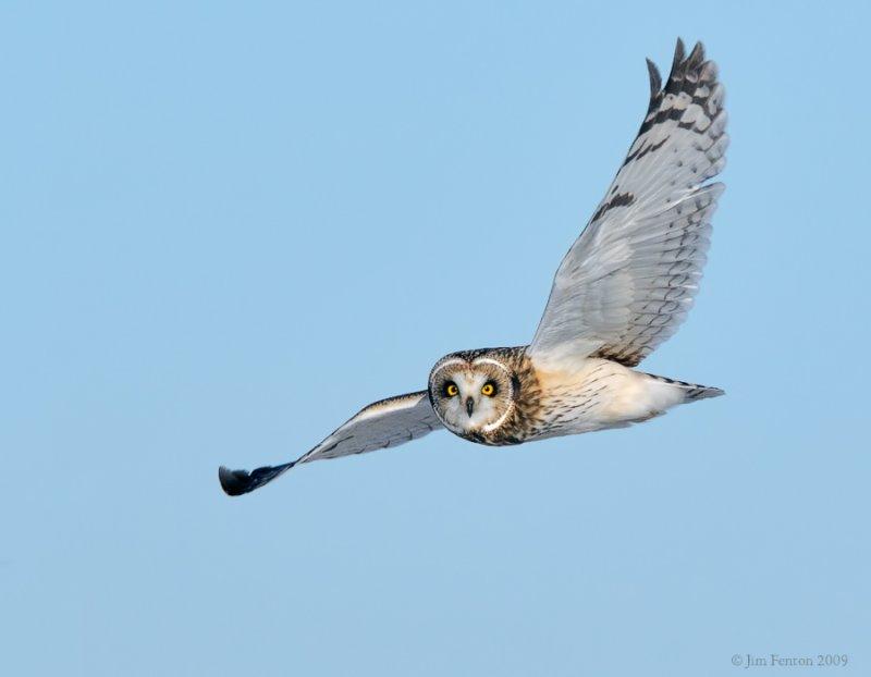 _NW86464 Short Eared Owl in Flight