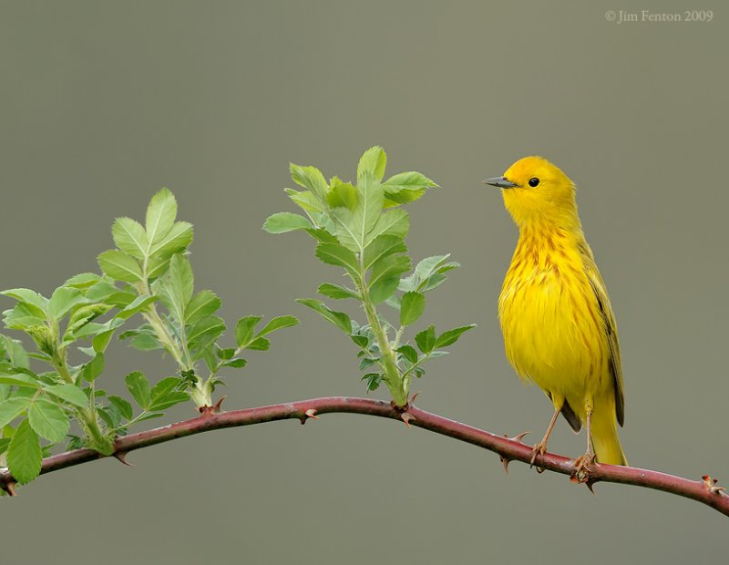 _NW94418 Yellow Warbler On The Alert