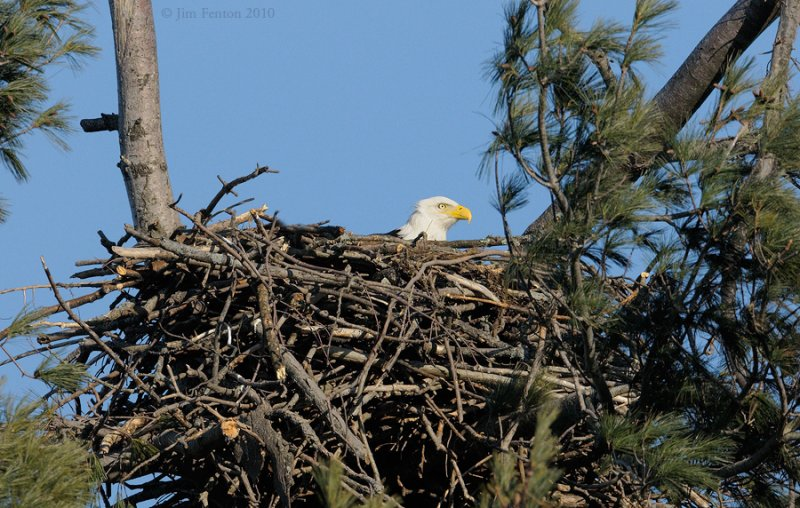 _NW06731Female Bald Eagle In Nest