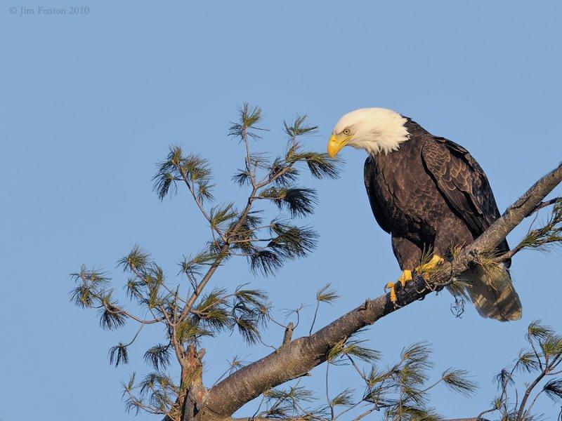 _NW06765 Female Bald Eagle On Nest Tree