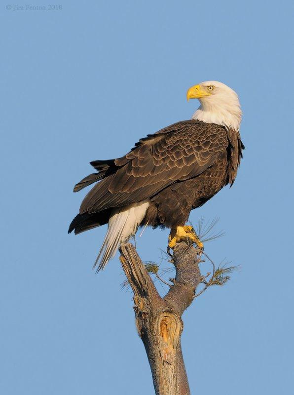 _NW06805 Male Bald Eagle On Nest Tree